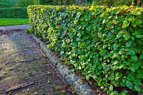 Piante Per Recinzioni Giardino.Come Scegliere Le Piante Da Siepe Perfette E Quali Sono I