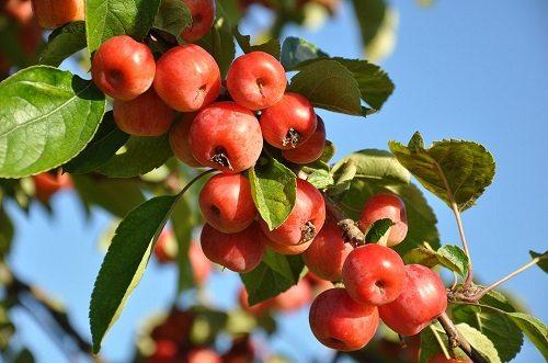 Come procedere per la potatura degli alberi da frutto for Alberi da frutto prezzi